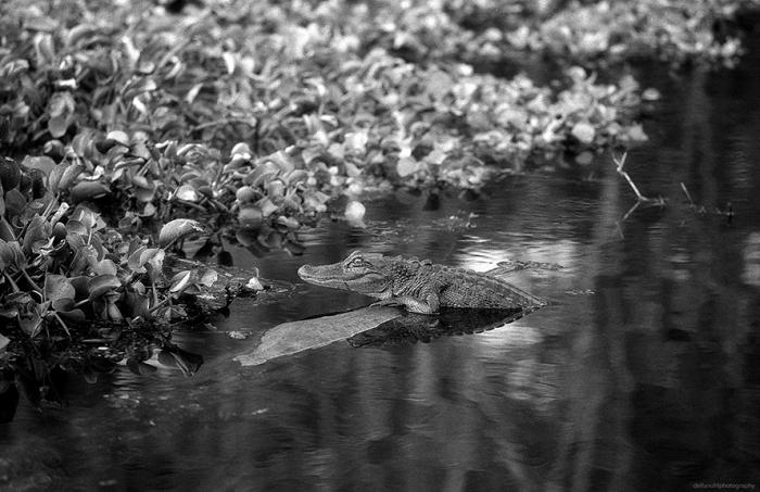 Alligator_01